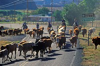 Cattle drive on Route 12, Escalante, UT