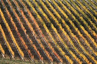 colored vineyards in autumn