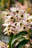 Blossoming Dendrobium Nobile Orchid Plant