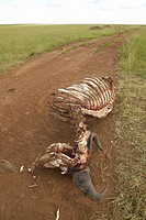 Carcass of dead animal eaten by lions in Masai Mara in Kenya, Africa