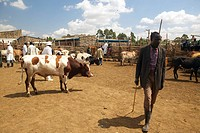 Dagoretti slaughterhouse in Nairobi, Kenya, Africa a holding tank for cows and goats to be killed in slaughterhouse