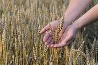 Ears of wheat holding in hand in field