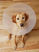 Labrador retriever with cone around his neck