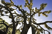 The name Joshua tree was given by a group of Mormon settlers who crossed the Mojave Desert in the mid_19th century. The tree´s unique shape reminded t...
