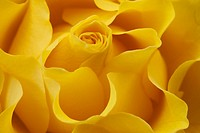 Full frame yellow rose