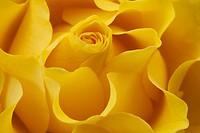 Full frame yellow rose