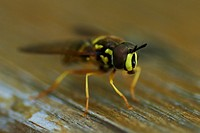 Hoverfly (Chrysotoxum intermedium)