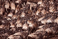 Eastern White-bearded Wildebeest (Connochaetes taurinus) herd moving up the river bank, Maasai Mara National Reserve, Kenya