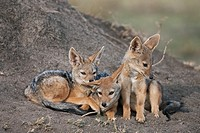 Black-backed jackal (Canis mesomelas) pups 6-9 months old resting at entrance to the den, Maasai Mara National Reserve, Kenya
