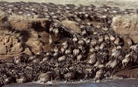 Eastern White-bearded Wildebeest (Connochaetes taurinus) herd crossing the Mara River, Maasai Mara National Reserve, Kenya