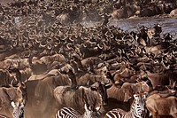 Eastern White-bearded Wildebeest (Connochaetes taurinus) herd and Common or Plain's Zebra (Equus burchelli) crossing the Mara River, Maasai Mara Natio...