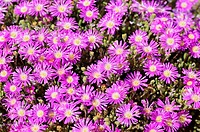 Rosae Ice Plant, Drosanthemum hispidum, Namaqualand, South Africa