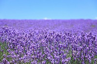 Lavender field, close_up