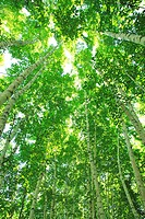 Trees of Japanese white birch in forest