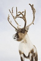A portrait of a reindeer
