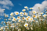 Ox-eye Daises Leucanthemum vulgare in farm-set-aside scheme
