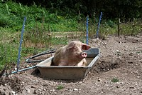 Pig in Wallow Bath