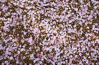 Detail of fallen cherry tree blossom petals.
