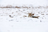 This coyote was taking a break from hunting for food in Yellowstone.