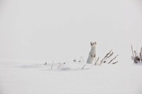 A Long_tailed Weasel pops out of the snow to have a look around.
