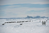 Emperor penguins Aptenodytes forsteristanding on fast ice in the Weddell Sea, part of the Southern Ocean