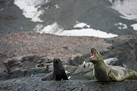 A leopard seal Hydrurga leptonyx and Antarctic fur seal Arctocephalus gazella on a rock