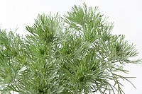 Southern wormwood Artemisia schmidtania on white background