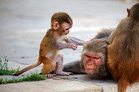 Rhesus monkey infant Macaca mulatta shows concern for its mother.