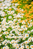 A honey bee flying amongst daisies_Bellis perennis