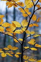 European Beech or Common Beech Fagus sylvatica  Leaves in autumn  Gorbea Natural Park  Basque Country, Spain, Europe