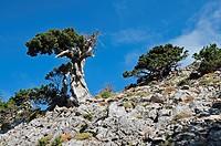 Mediterranean cypress Cupressus sempervirens horizontalis, Crete