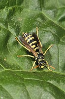 Wasp (fam. Vespidae). Osseja, Languedoc Roussillon, Pyrenees Orientales, France