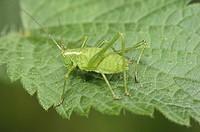 Bush-crickets (Isophya pyrenaea, fam. Tettigoniidae). Osseja, Languedoc-Roussillon, Pyrenees Orientales, France
