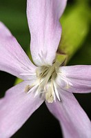 Flower of Soapwort (Saponaria officinalis, fam. Caryophyllaceae). Osseja, Languedoc-Roussillon, Pyrenees Orientales, France