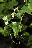 Plant with flowers and climbing stems of Red bryony (Bryonia dioica, fam. Cucurbitaceae). Osseja, Languedoc-Roussillon, Pyrenees Orientales, France