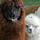 Alpaca Vicugna pacos / Lama pacos close up, native to South America