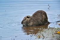 Coypu / nutria Myocastor coypus eating leaf in water, La Brenne, France. Originally native to South America