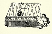 Chicks  Antique illustration  1900