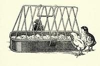 Chicks  Antique illustration  1900