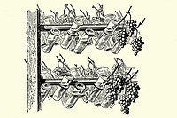 Glass bottles to preserve grapes  Antique illustration  1900