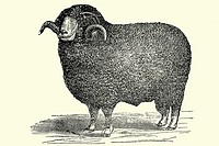 Male sheep  Antique illustration  1900