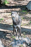 Gray wolf (Canis lupus) sniffing the air in Canada