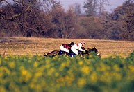 Two jockeys ride their horses seen through field of flowers