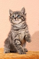 tabby kitten _ sitting _ lifting paw