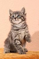 tabby kitten _ sitting _ lifting paw