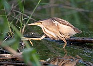 Little Bittern in water / Ixobrychus minutus