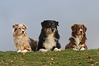 Australian Shepherd dog female and male and Miniature Shepherd dog