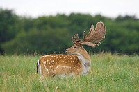 Fallow Deer _ standing on meadow / Dama dama