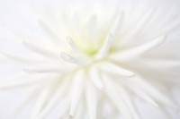 Extreme close up of white dahlia