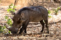 Senegal _ The Small Coast _ The Bandia reservation _ Warthog